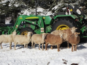 Sheep with our tractor