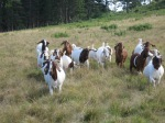 The herd going to pasture